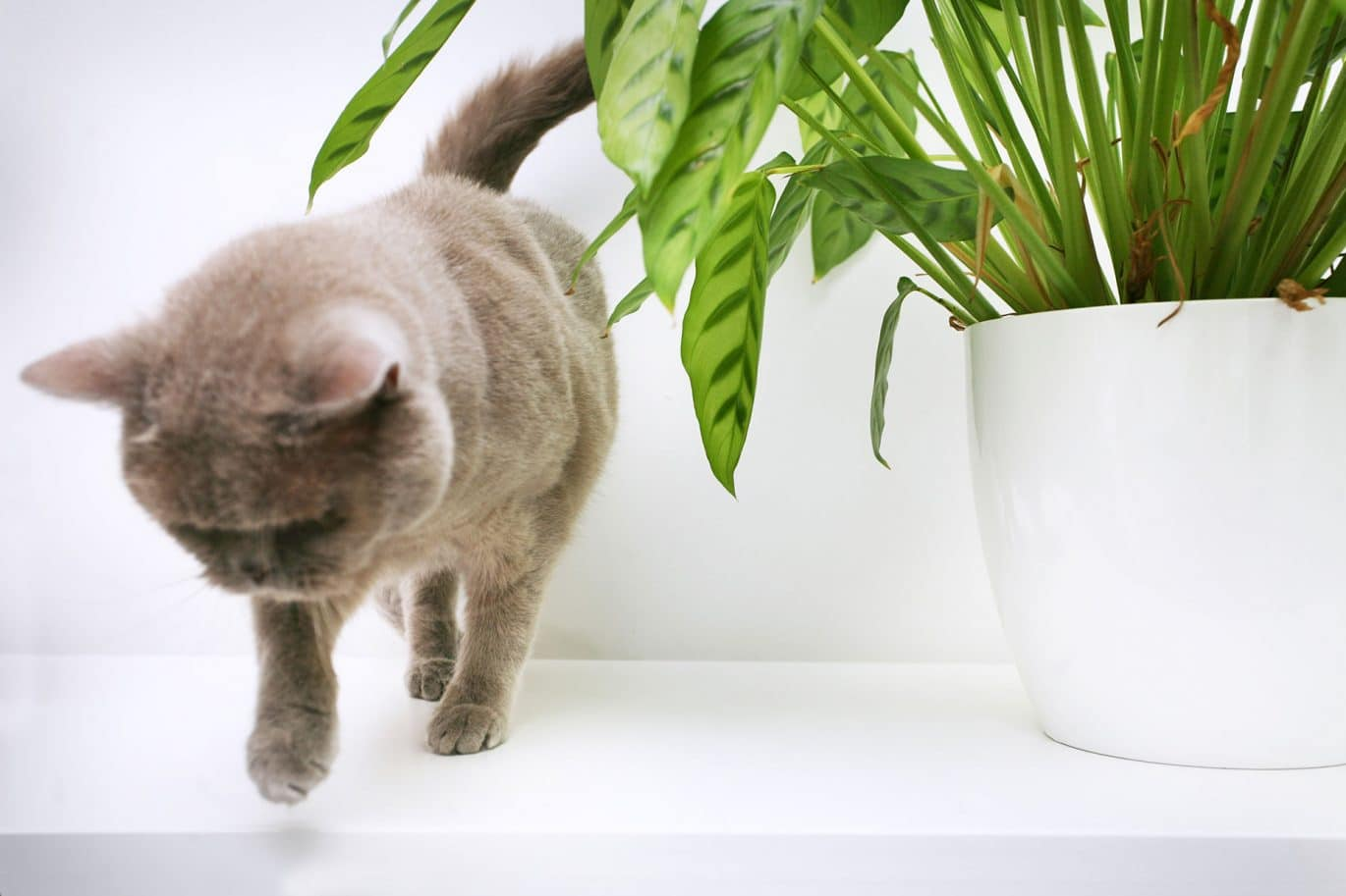 A cleaning customers grey cat jumps off a white dresser next to a bright green houseplant